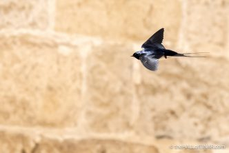 Swallows - The Hall of Einar - photograph (c) David Bailey (not the)