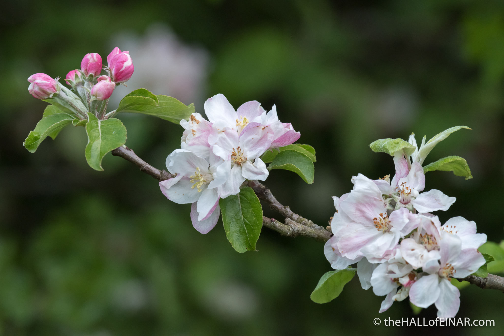 Apple Blossom Orley Common - The Hall of Einar - photograph (c) David Bailey (not the)