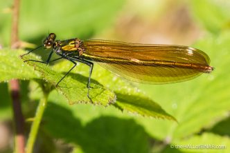 Beautiful Demoiselle Calopteryx virgo - The Hall of Einar - photograph (c) David Bailey (not the)