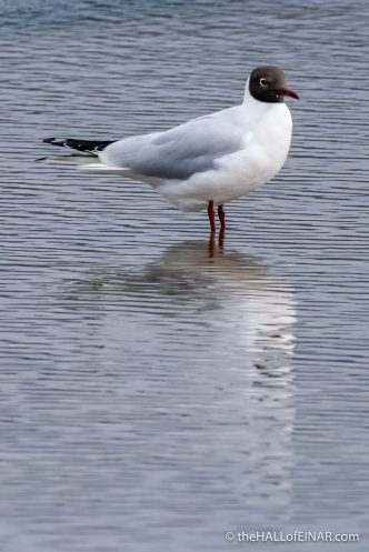 Black Headed Gull - The Hall of Einar - photograph (c) David Bailey (not the)