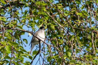 Blackcap - The Hall of Einar - photograph (c) David Bailey (not the)