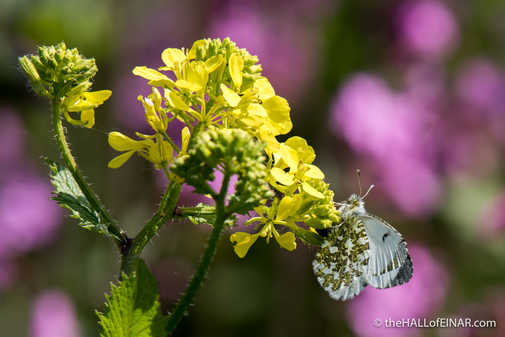 Female Orange Tip White Butterfly - The Hall of Einar - photograph (c) David Bailey (not the)
