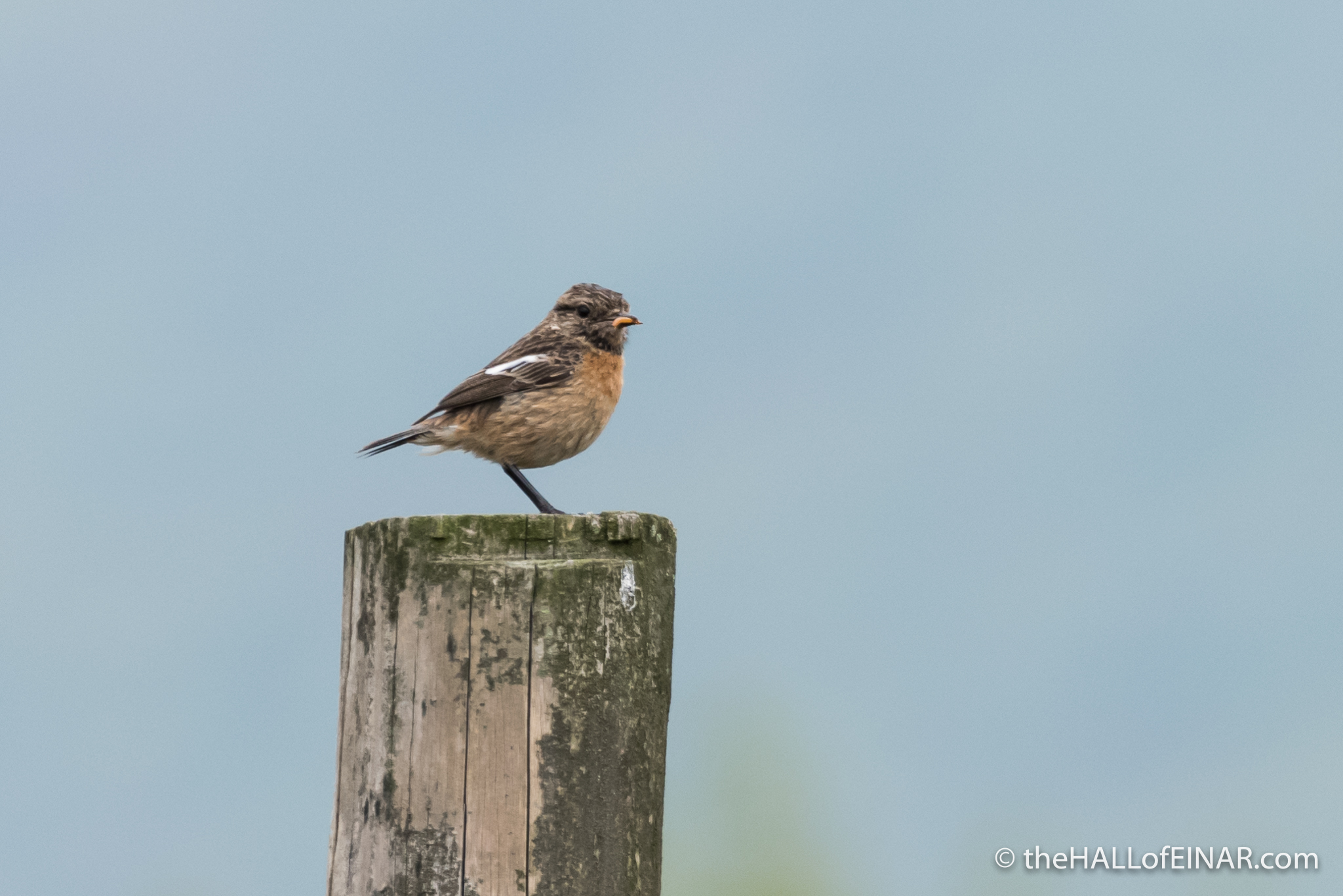 Female Stonechat - The Hall of Einar - photograph (c) David Bailey (not the)