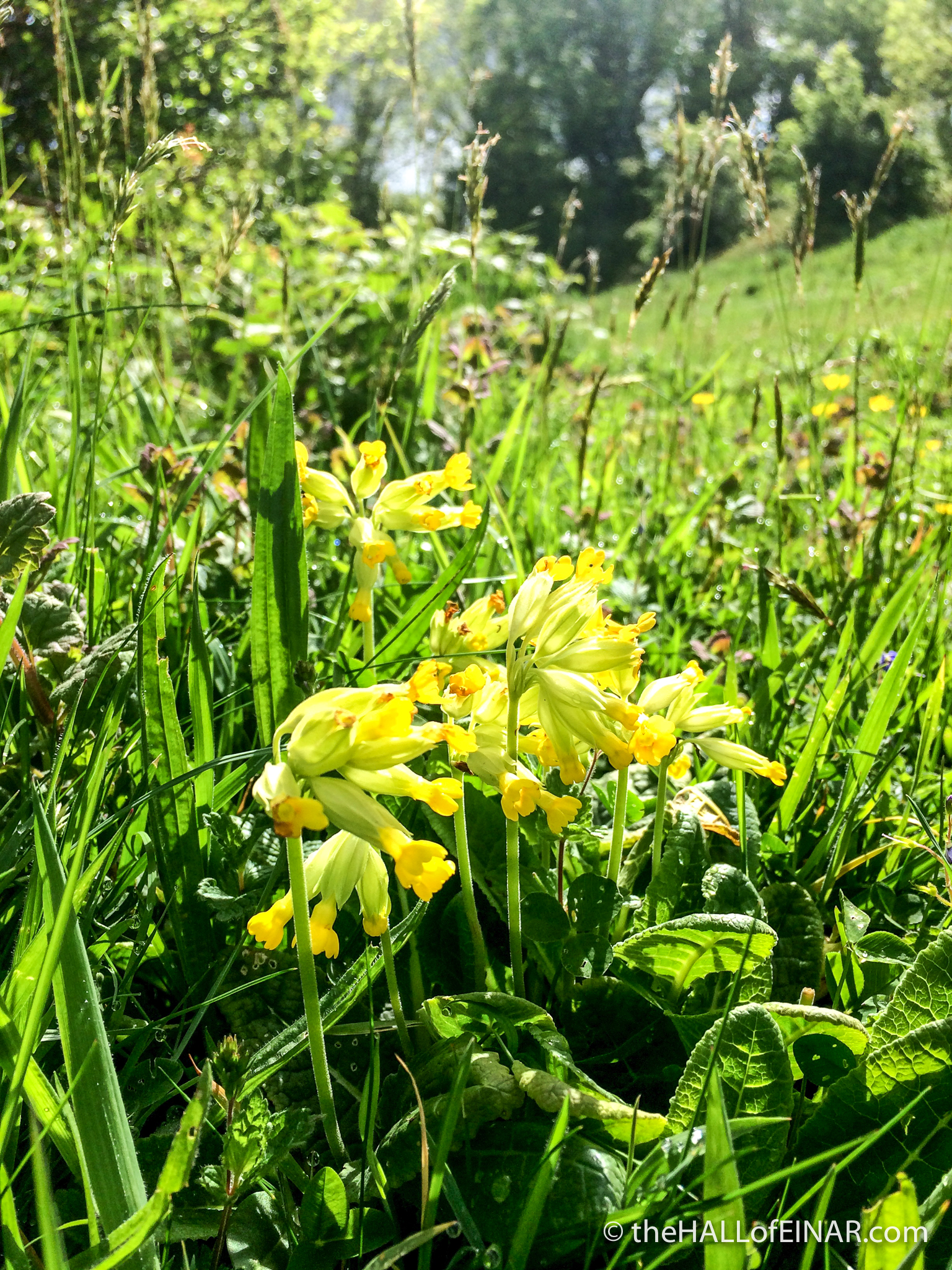 Cowslip - The Hall of Einar - photograph (c) David Bailey (not the)