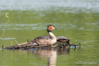 Great Crested Grebe - The Hall of Einar - photograph (c) David Bailey (not the)