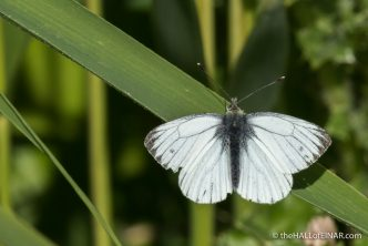 Green Veined White Butterfly - The Hall of Einar - photograph (c) David Bailey (not the)