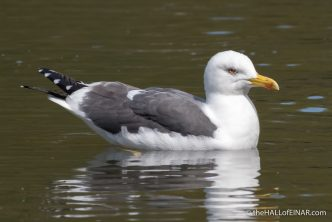 Lesser Black Backed Gull - The Hall of Einar - photograph (c) David Bailey (not the)