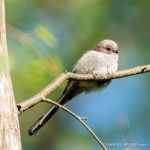 Long-Tailed Bushtit - Tudeley Woods - The Hall of Einar - photograph (c) David Bailey (not the)