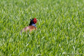 Male Pheasant - The Hall of Einar - photograph (c) David Bailey (not the)