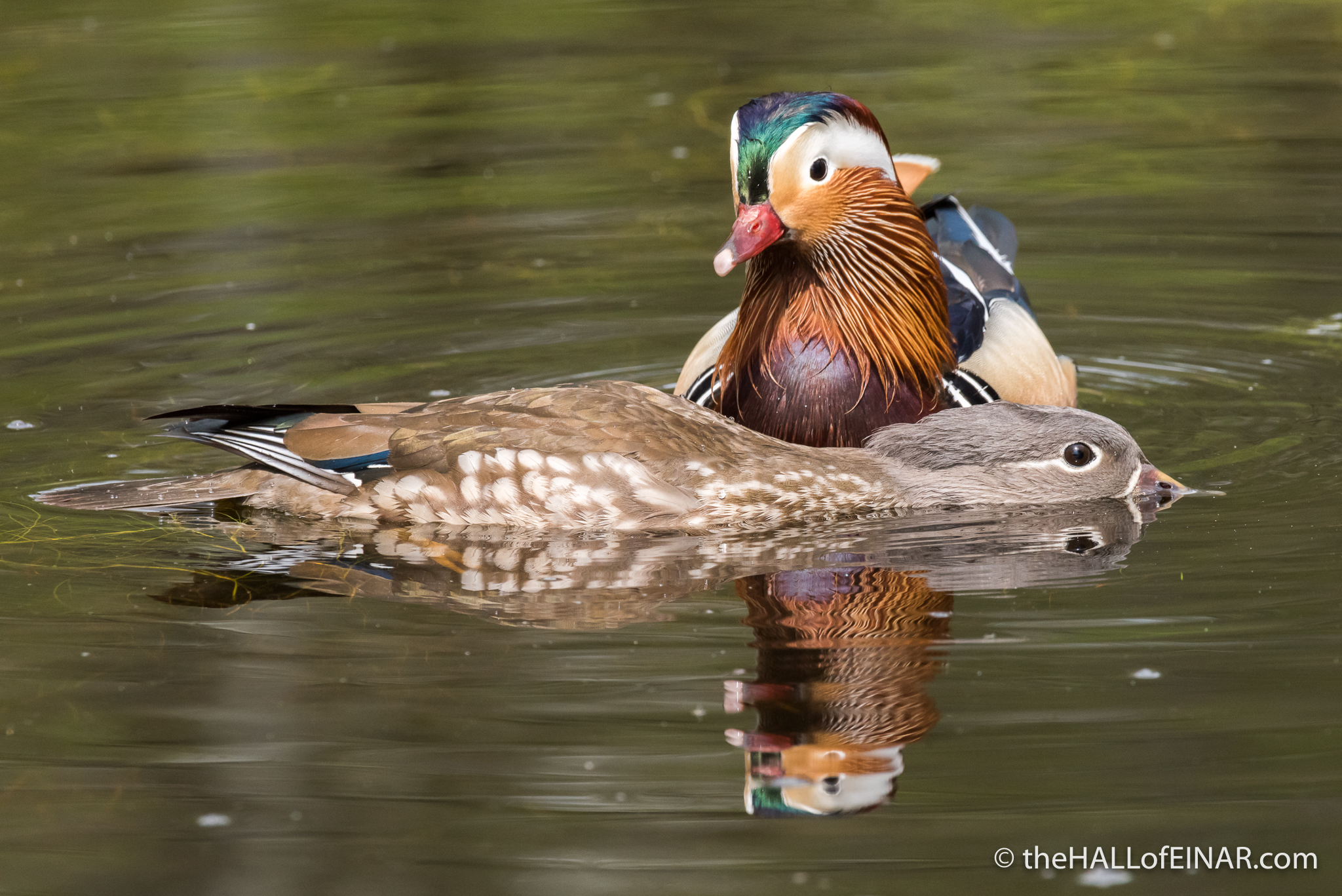 Male Mandarin - The Hall of Einar - photograph (c) David Bailey (not the)
