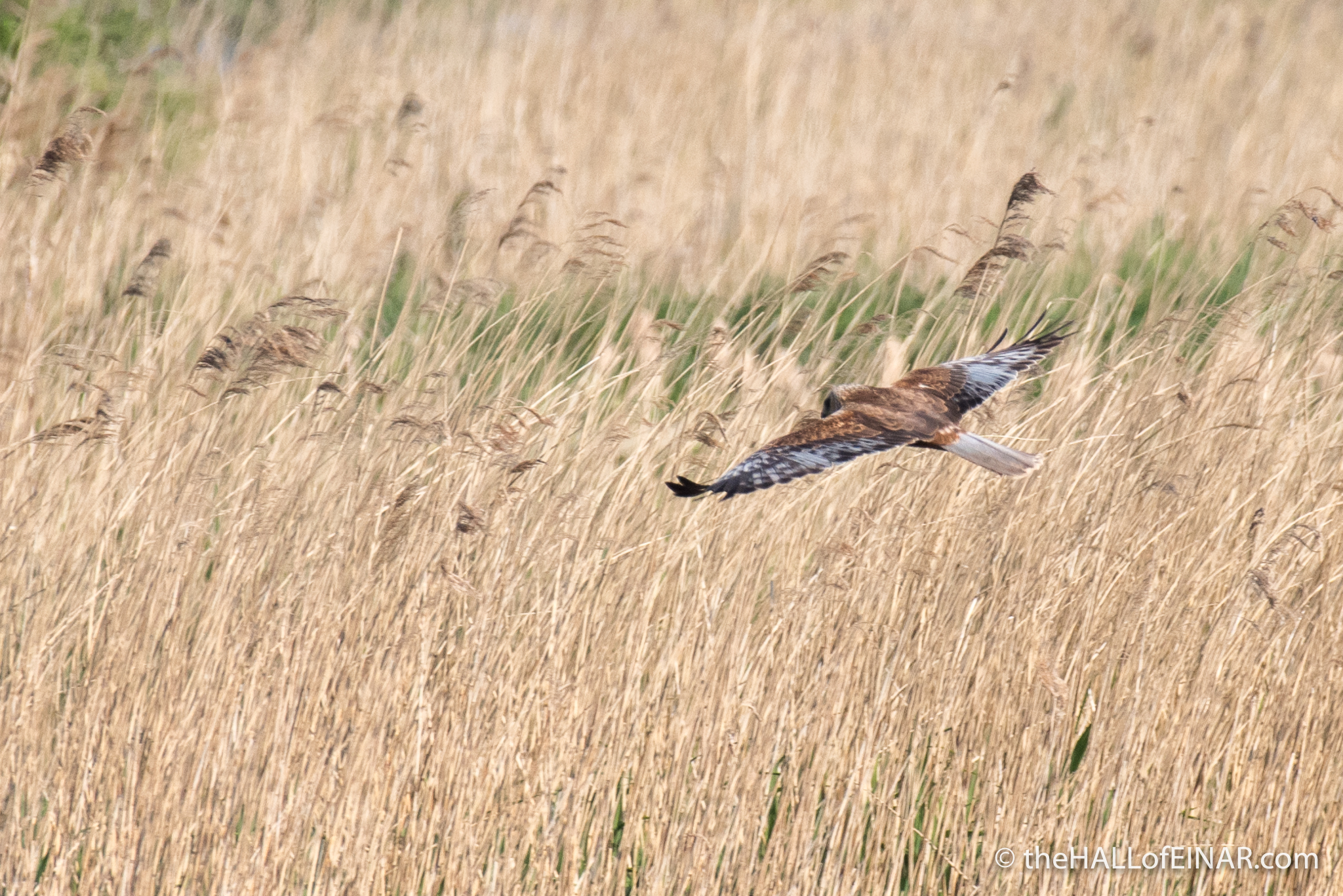 Marsh Harrier over the Marsh - The Hall of Einar - photograph (c) David Bailey (not the)