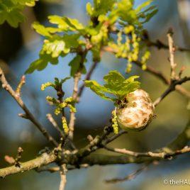 Oak Apple - The Hall of Einar - photograph (c) David Bailey (not the)