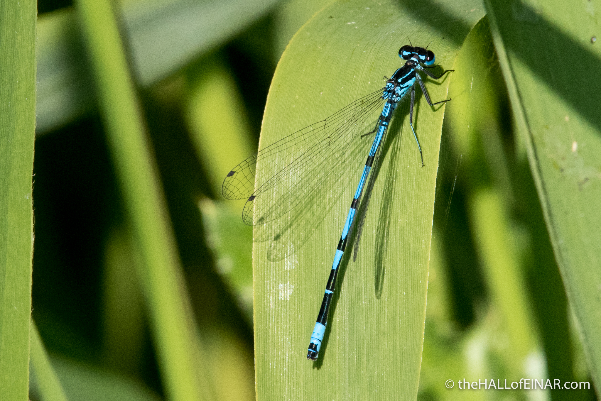 Variable Damselfly (Coenagrion pulchellum) - The Hall of Einar - photograph (c) David Bailey (not the)