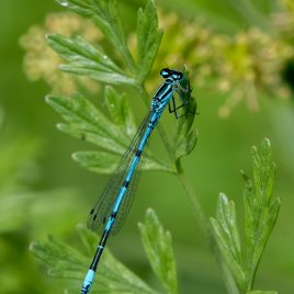 Azure Damselfly - The Hall of Einar - photograph (c) David Bailey (not the)