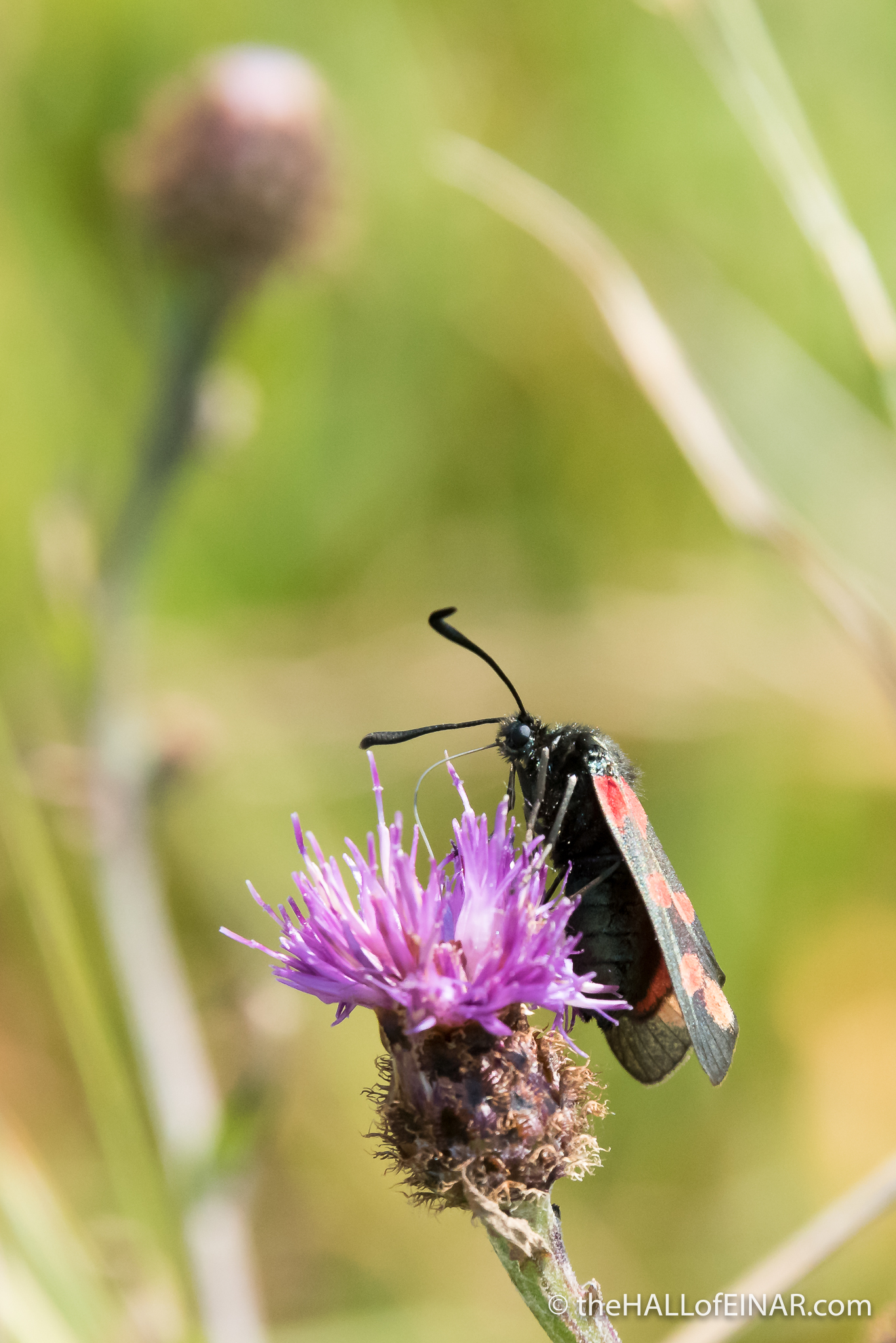 Six Spot Burnet Moth - The Hall of Einar - photograph (c) David Bailey (not the)