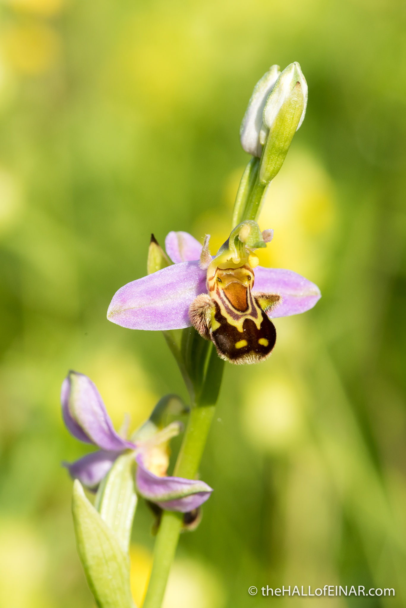 Bee Orchid - The Hall of Einar - photograph (c) David Bailey (not the)
