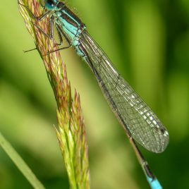 Blue Tailed Damselfly - The Hall of Einar - photograph (c) David Bailey (not the)