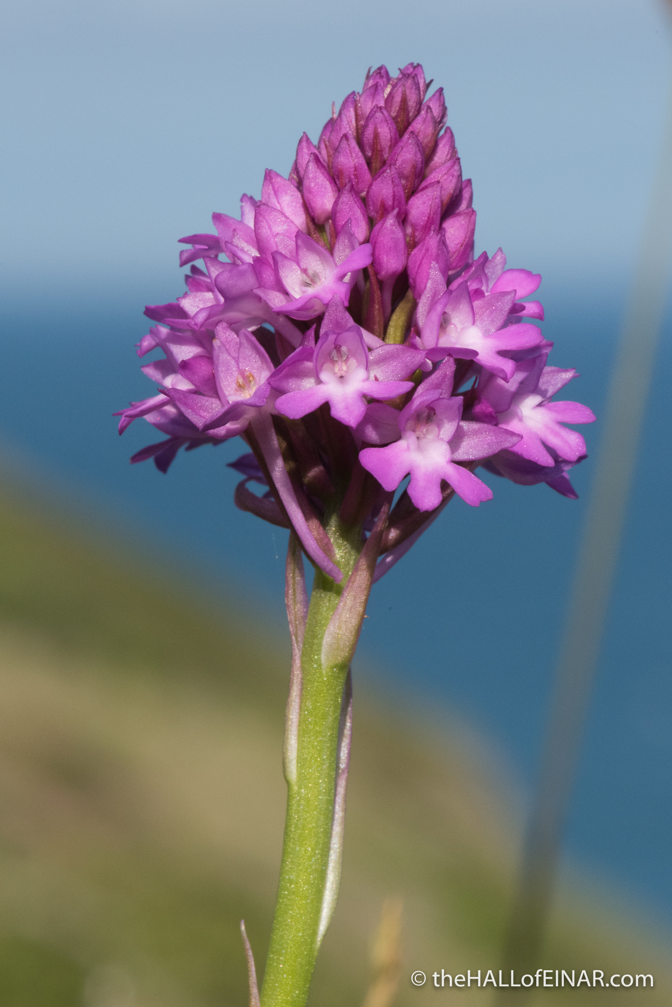 Pyramidal Orchid - The Hall of Einar - photograph (c) David Bailey (not the)