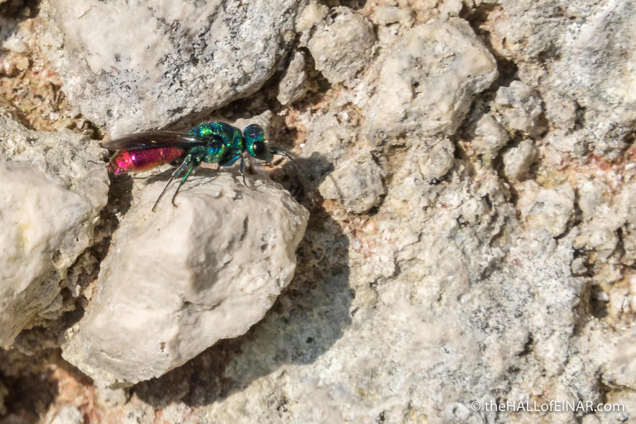 Ruby Tailed Wasp - The Hall of Einar - photograph (c) David Bailey (not the)