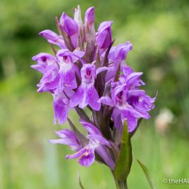 Southern Marsh Orchid - The Hall of Einar - photograph (c) David Bailey (not the)