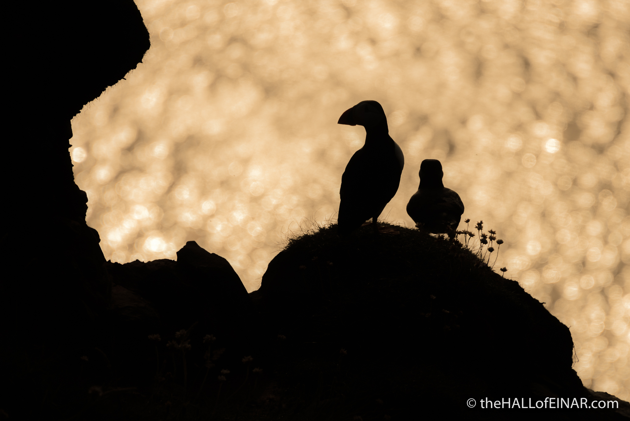 Golden Puffins - The Hall of Einar - photograph (c) David Bailey (not the)