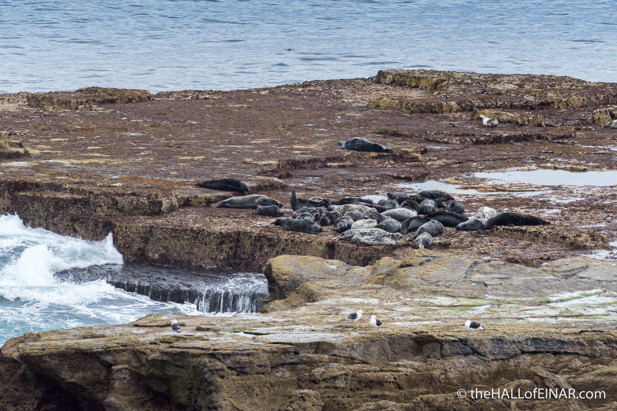 Grey Seals - The Hall of Einar - photograph (c) David Bailey (not the)