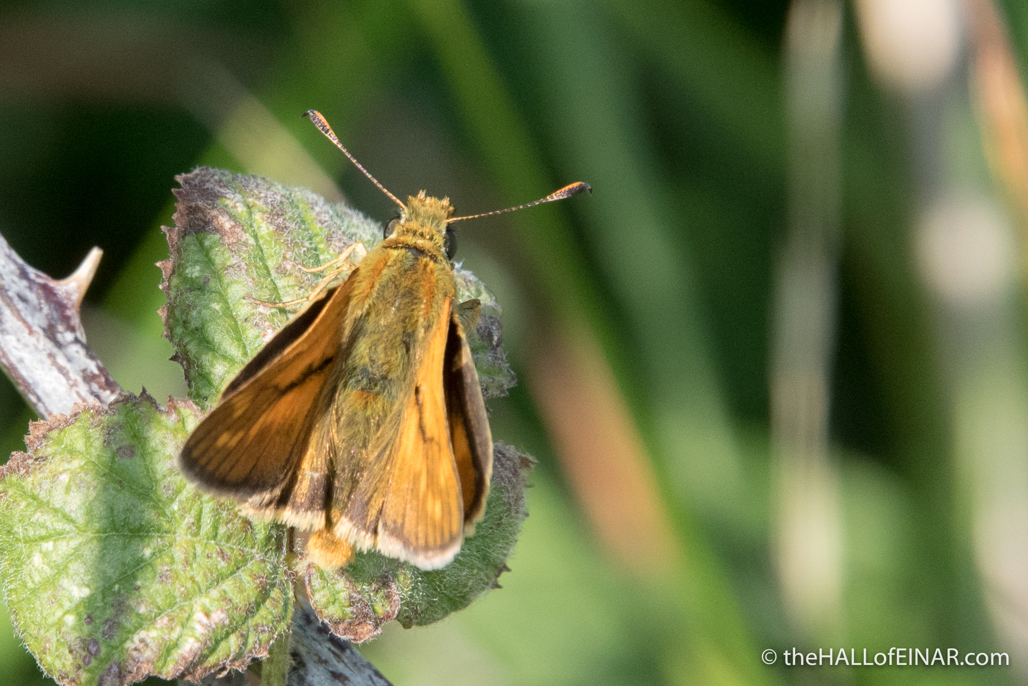 Large Skipper - The Hall of Einar - photograph (c) David Bailey (not the)