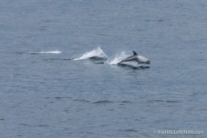 Risso's Dolphins - The Hall of Einar - photograph (c) David Bailey (not the)