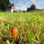 Blackening Waxcap on the A9 - The Hall of Einar - photograph (c) David Bailey (not the)