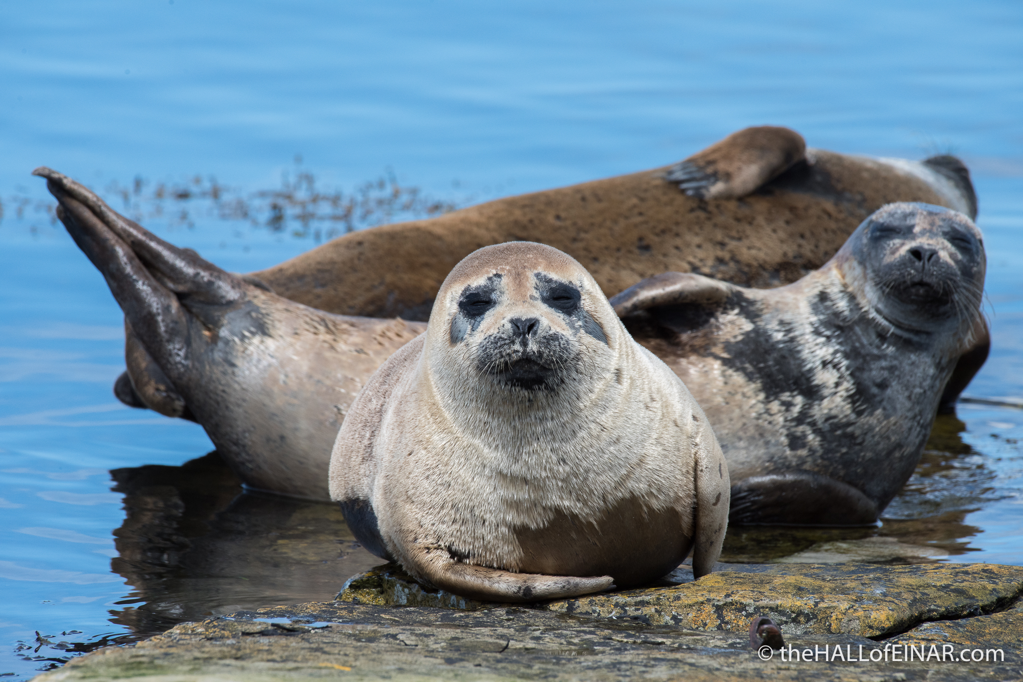 Common Seals - The Hall of Einar - photograph (c) David Bailey (not the)