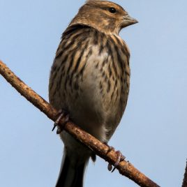 Female Linnet - The Hall of Einar - photograph (c) David Bailey (not the)