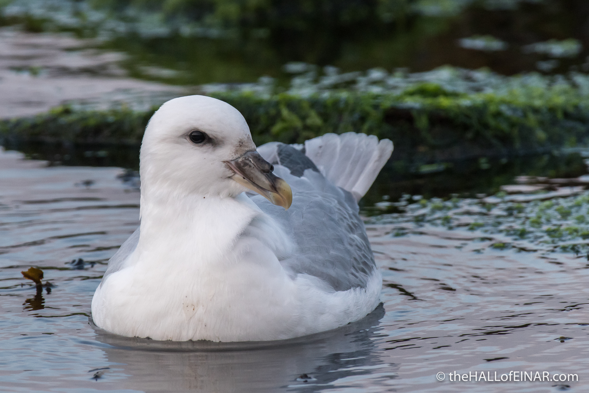 Swimming Fulmar - The Hall of Einar - photograph (c) David Bailey (not the)