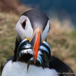 Puffin with Sandeels - The Hall of Einar - photograph (c) David Bailey (not the)