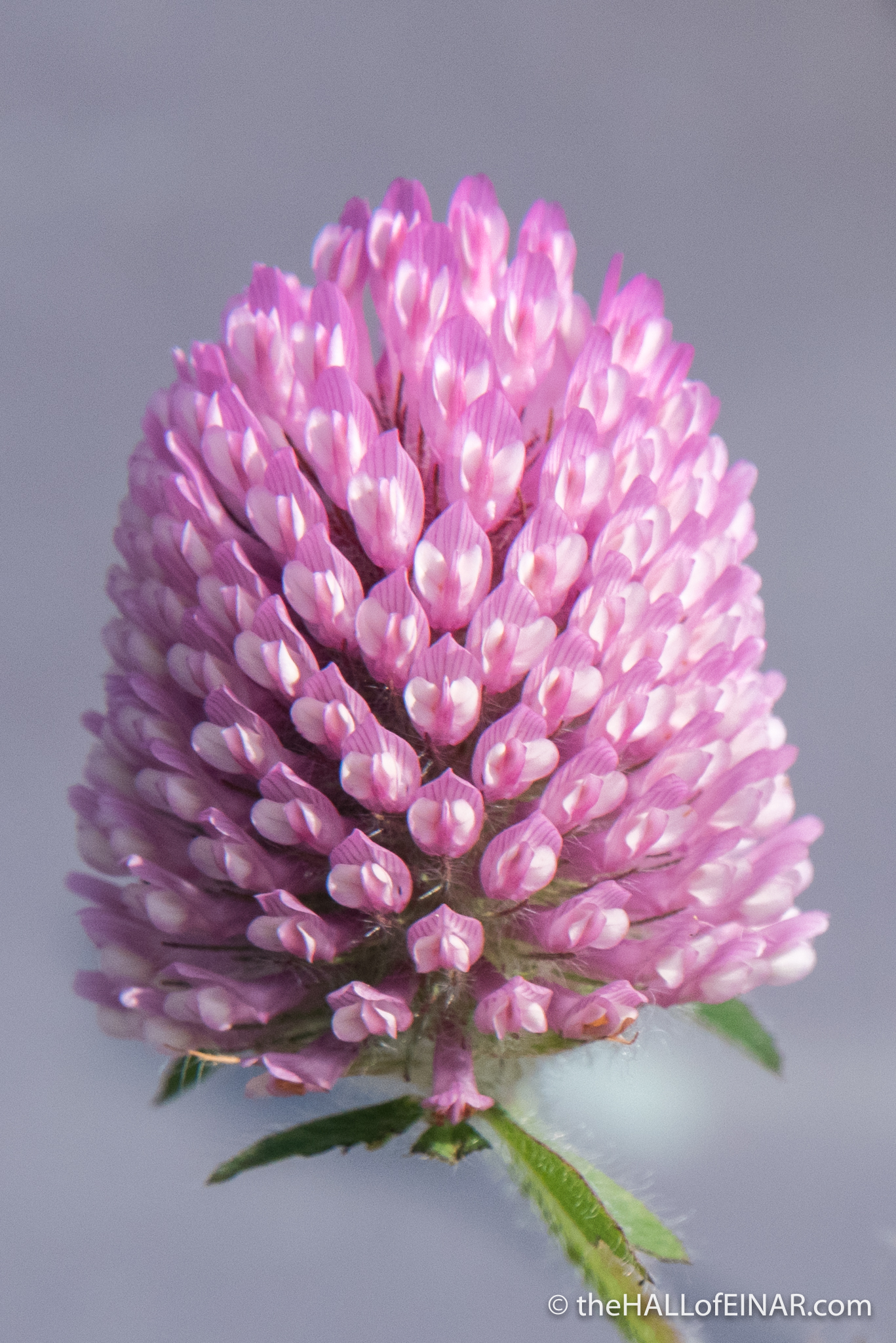 Red Clover - The Hall of Einar - photograph (c) David Bailey (not the)