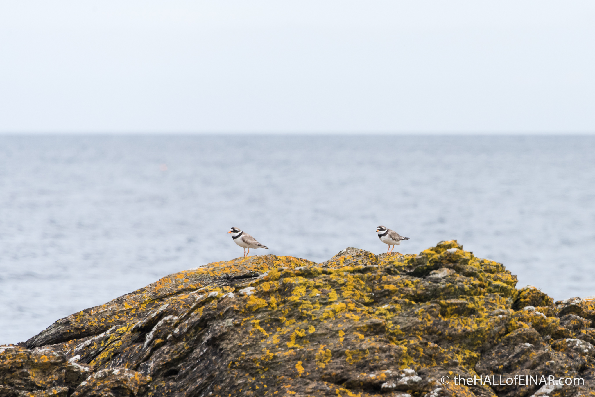 Ringed Plover - The Hall of Einar - photograph (c) David Bailey (not the)