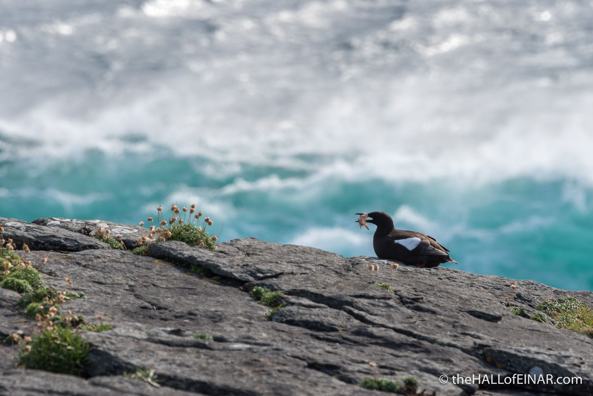 Black Guillemot - The Hall of Einar - photograph (c) David Bailey (not the)