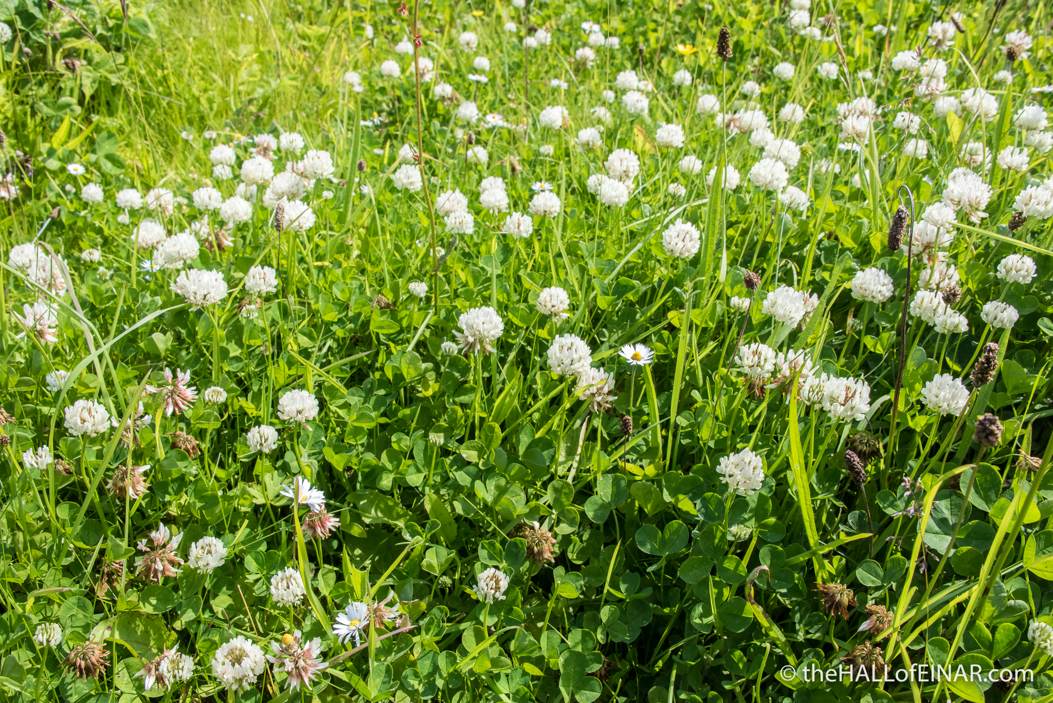 White Clover - The Hall of Einar - photograph (c) David Bailey (not the)