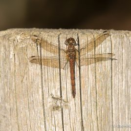 Common Darter - The Hall of Einar - photograph (c) David Bailey (not the)