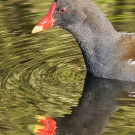 Moorhen - The Hall of Einar - photograph (c) David Bailey (not the)