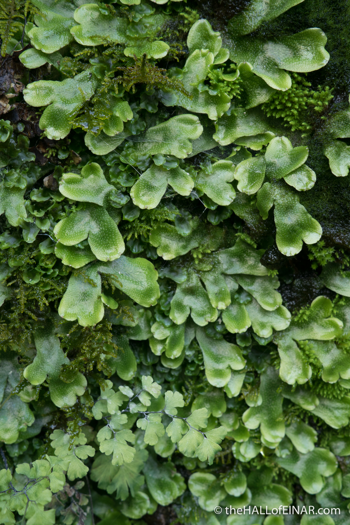 Liverwort - The Hall of Einar - photograph (c) David Bailey (not the)