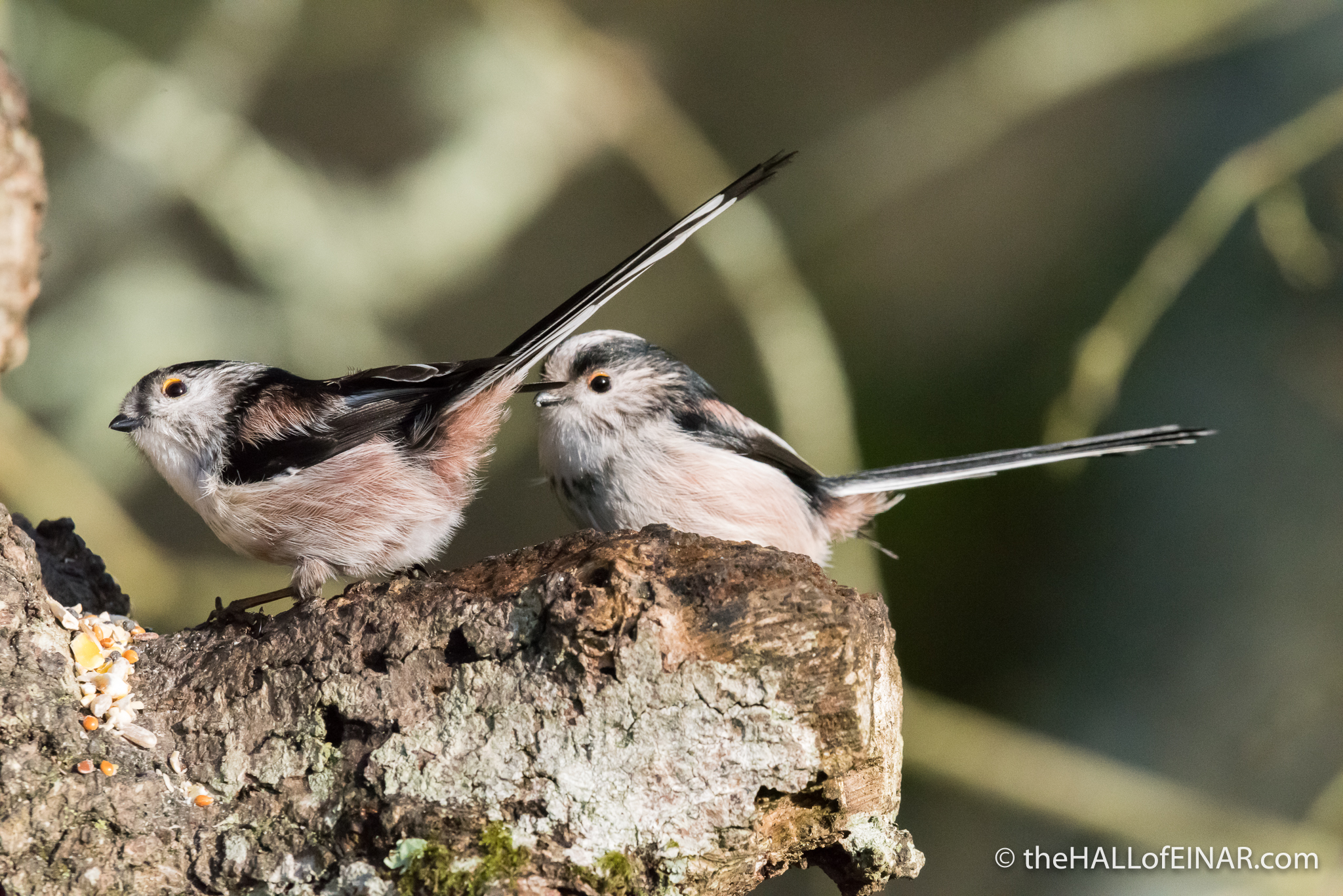 Long-Tailed Bushtits - The Hall of Einar - photograph (c) David Bailey (not the)