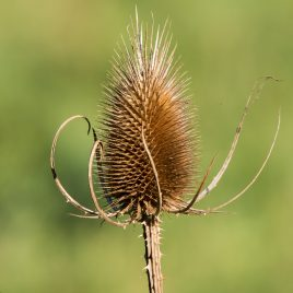 Teasel - The Hall of Einar - photograph (c) David Bailey (not the)