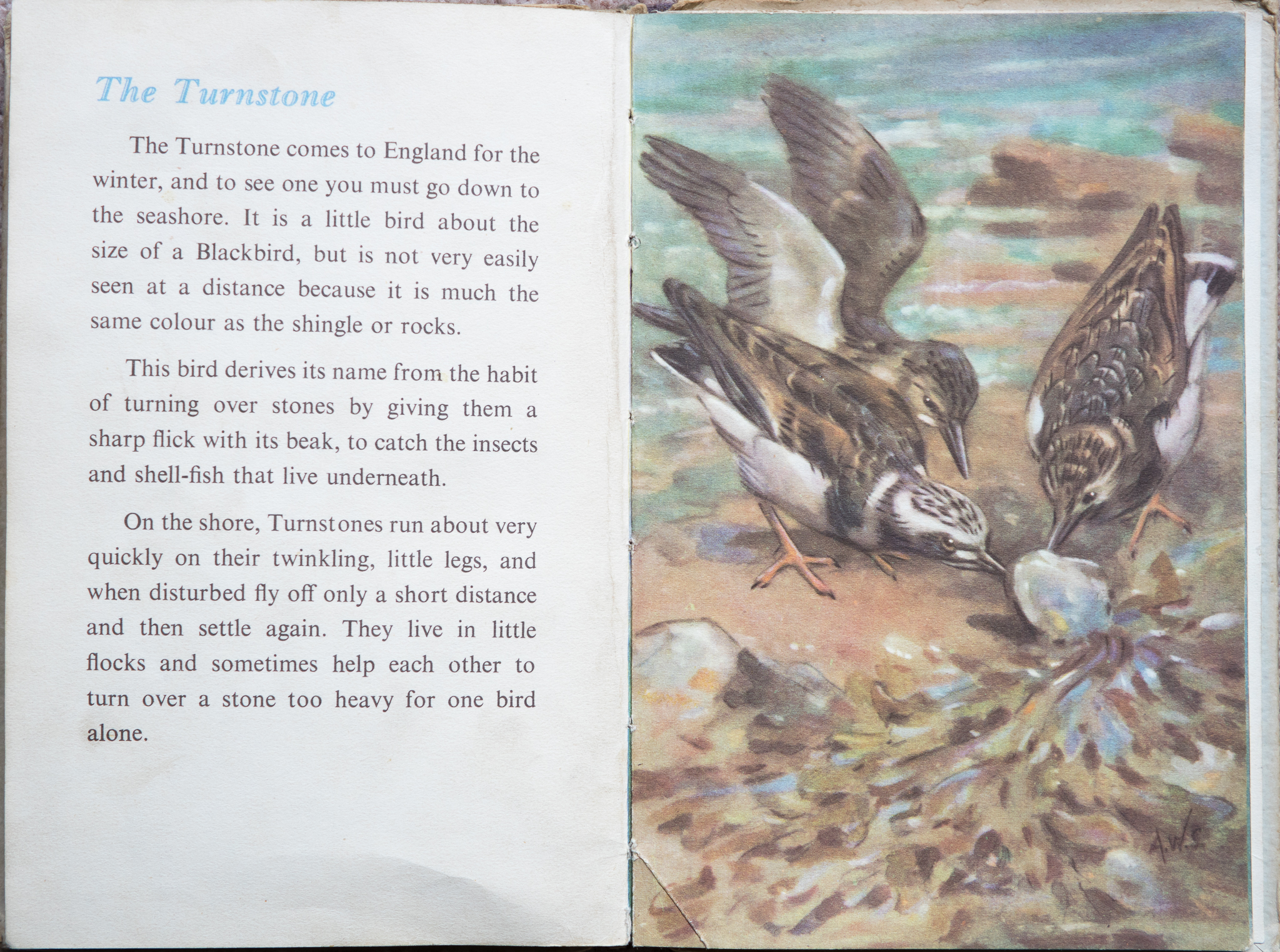 The Second Ladybird Book of British Birds - The Turnstone