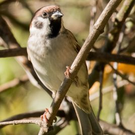 Tree Sparrow - The Hall of Einar - photograph (c) David Bailey (not the)