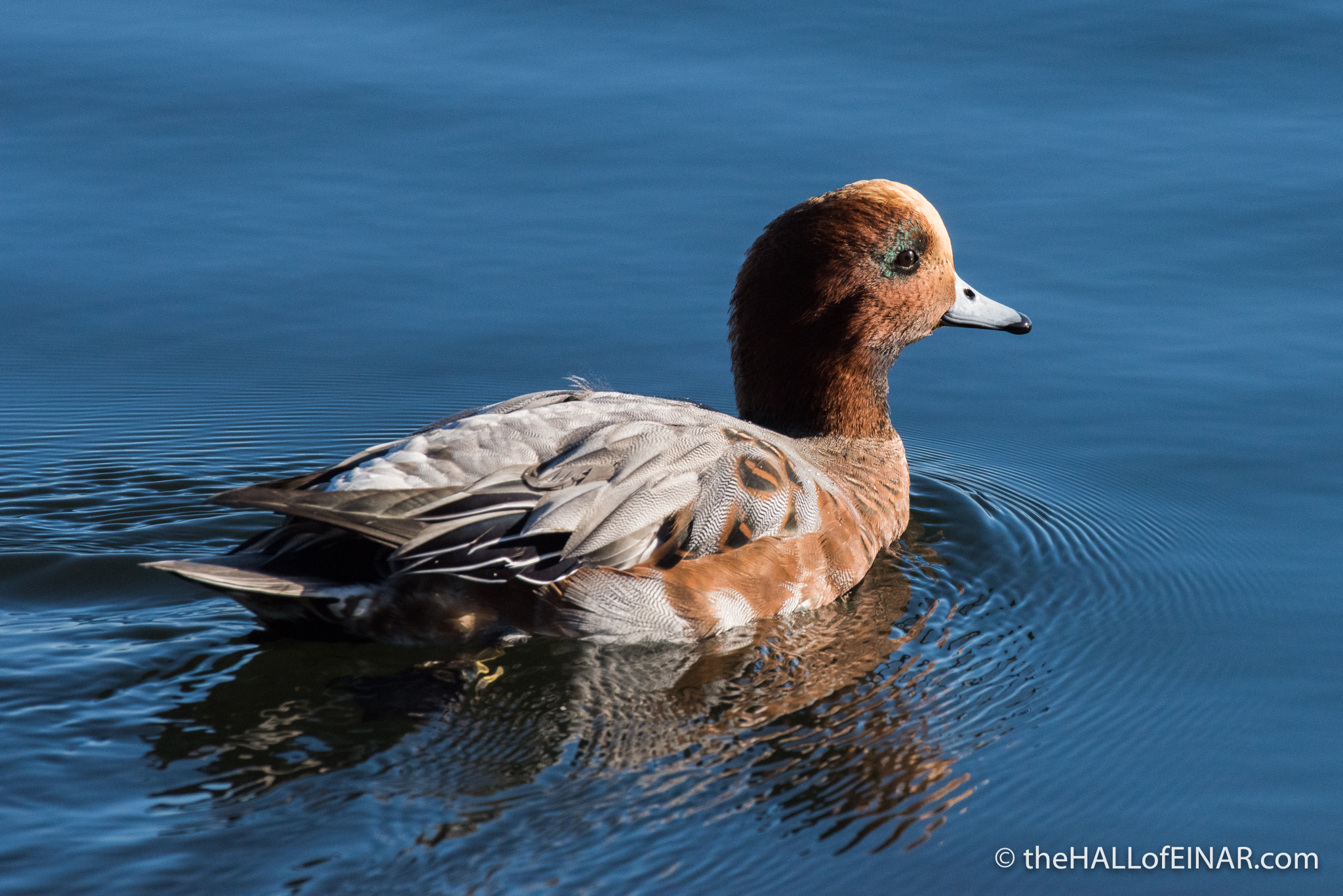 Wigeon - The Hall of Einar - photograph (c) David Bailey (not the)