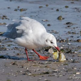 Black Headed Gull with flatfish - The Hall of Einar - photograph (c) David Bailey (not the)