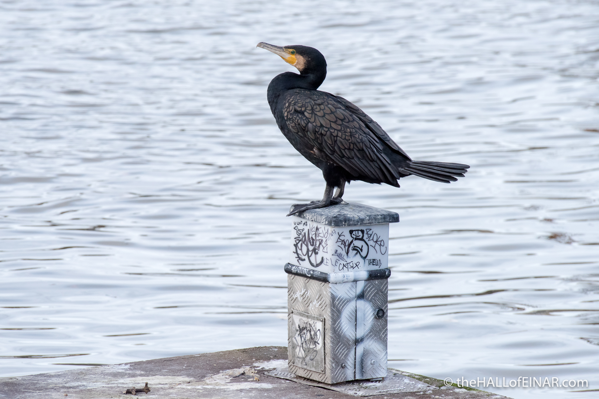 Cormorant - The Hall of Einar - photograph (c) David Bailey (not the)