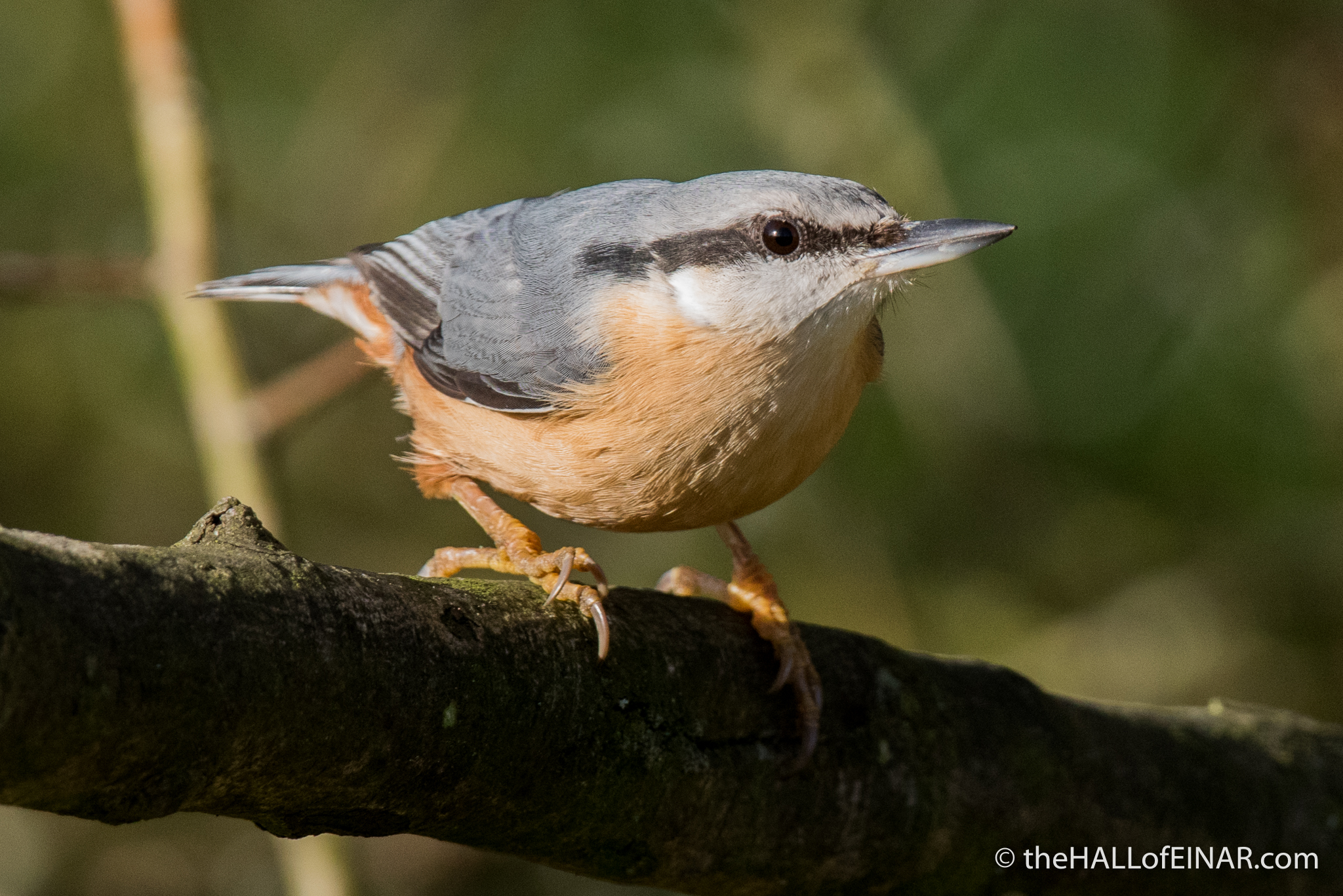 Nuthatch at Daisy Nook - The Hall of Einar - photograph (c) David Bailey (not the)