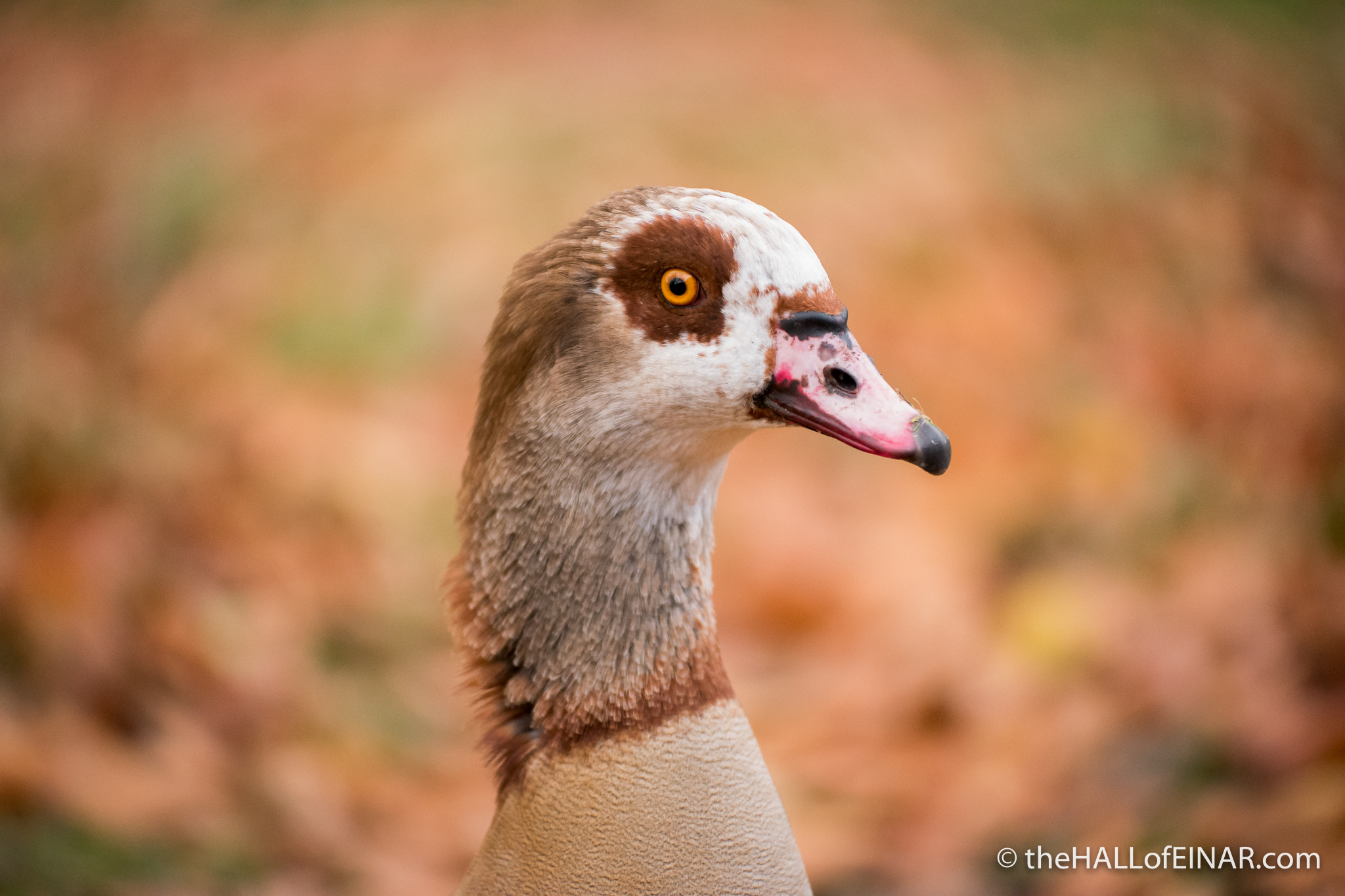 Egyptian Goose - The Hall of Einar - photograph (c) David Bailey (not the)