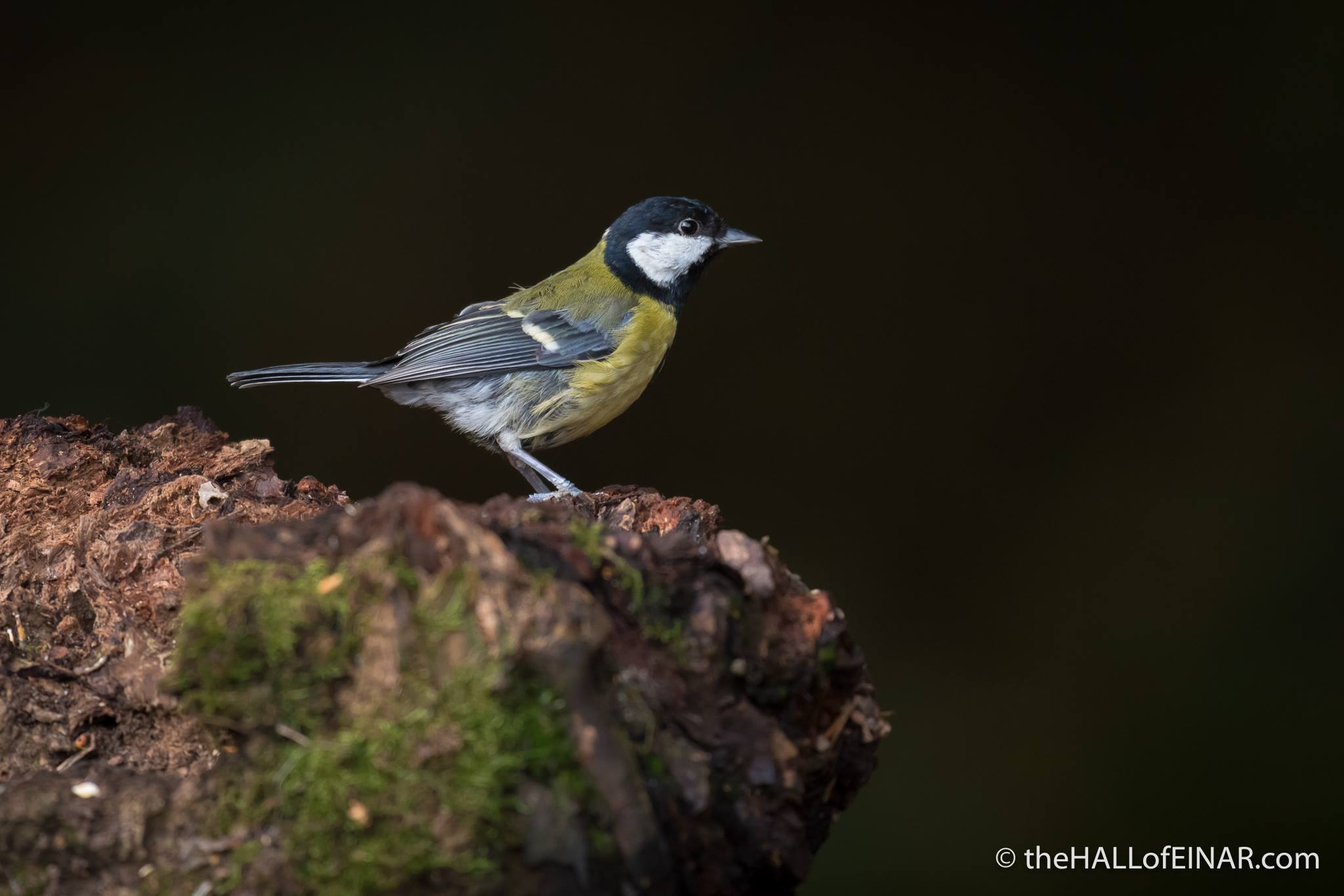 Great Tit - The Hall of Einar - photograph (c) 2016 David Bailey (not the)